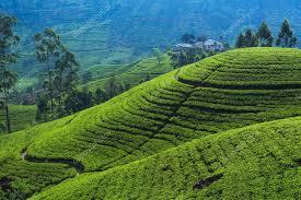 Campos de té colina 1