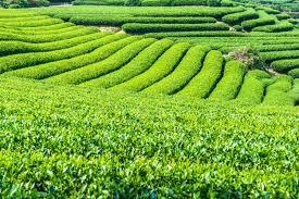 campos de té terrazas 1