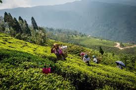 Plantación té- ladera y gente