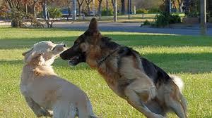 perroa blanca y pastor alemán
